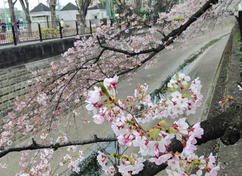 鷺宮体育館の向かいの桜