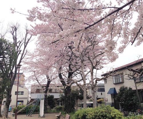 練馬区中村ちびっこ広場の桜