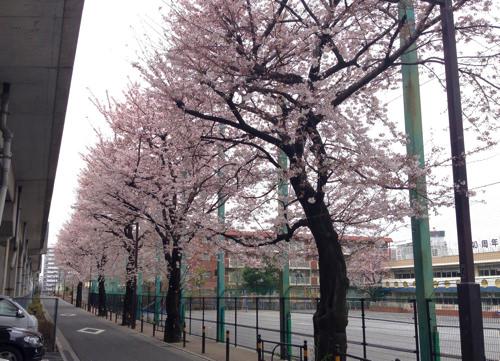 nerima3school-sakura1