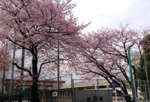 練馬第三小学校の桜
